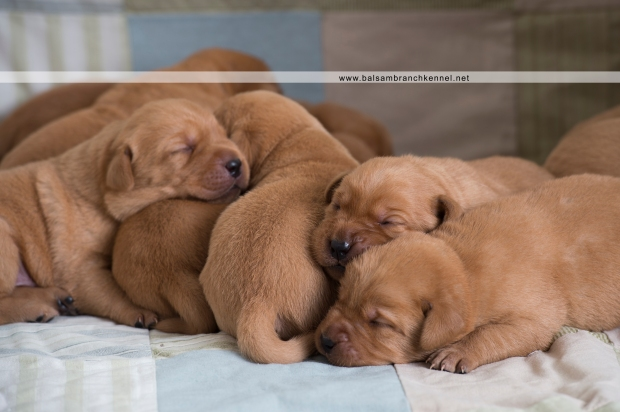 Fox Red Lab Puppies For Sale Balsam Branch Kennel 1.5 week old