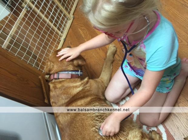 Fox Red Lab Teaka Balsam Branch Kennel Puppies