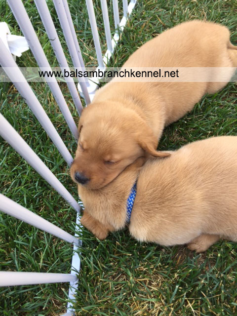 English Fox Red Labrador Puppies For Sale 02