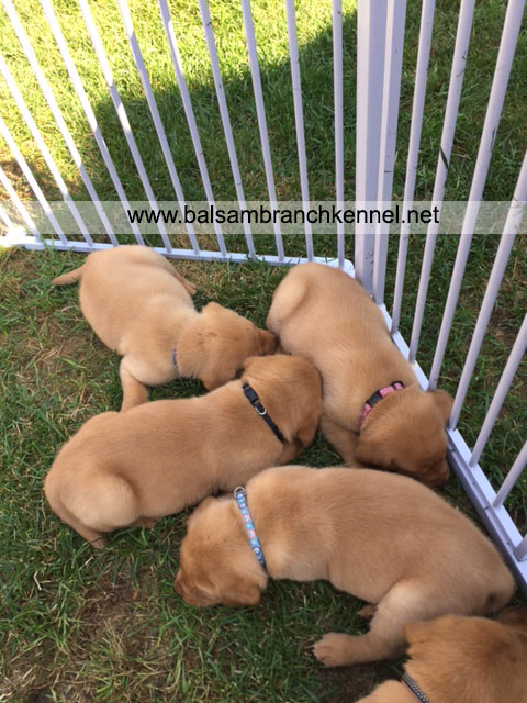 English Fox Red Labrador Puppies For Sale 03
