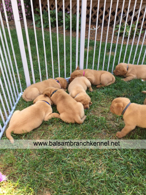 English Fox Red Labrador Puppies For Sale 04