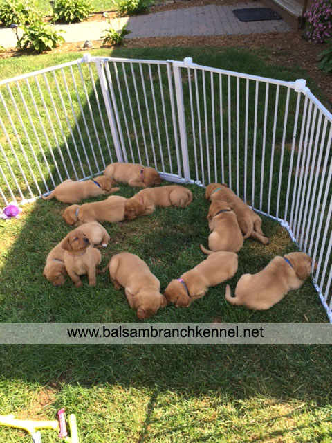 English Fox Red Labrador Puppies For Sale 06