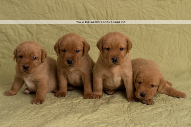 Fox Red Lab Teaka Balsam Branch Kennel Puppies01