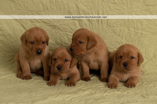 Fox Red Lab Teaka Balsam Branch Kennel Puppies02