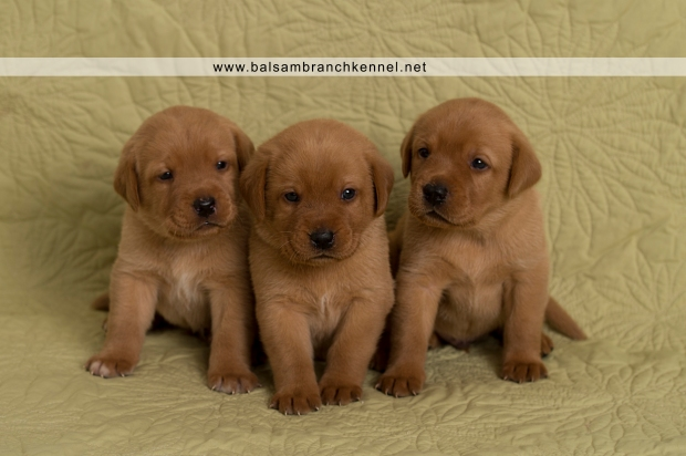 Fox Red Lab Teaka Balsam Branch Kennel Puppies03