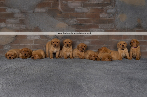 Fox Red Lab Teaka Balsam Branch Kennel Puppies4wk copy
