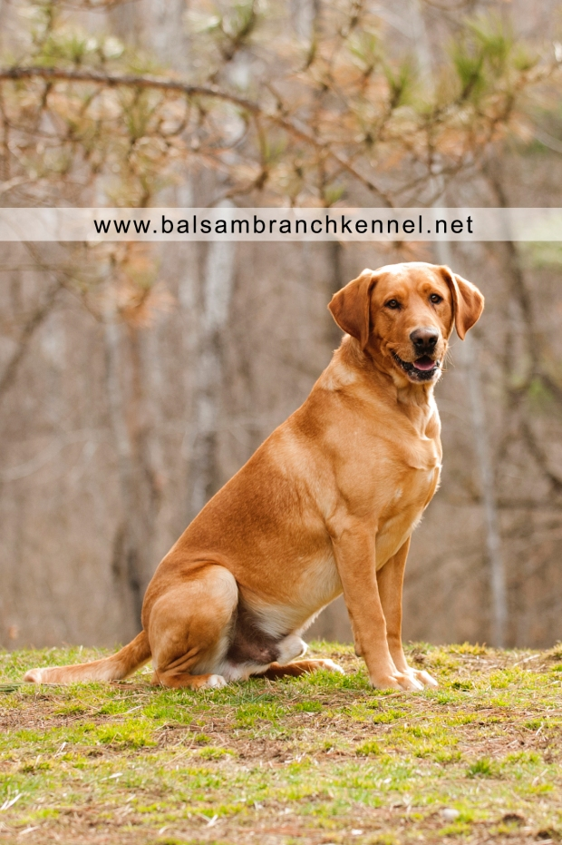 Fox Red Labrador Balsam Branch Kennel Manac