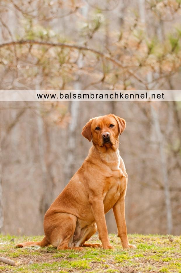 Fox Red Labrador Balsam Branch Kennel Roxy