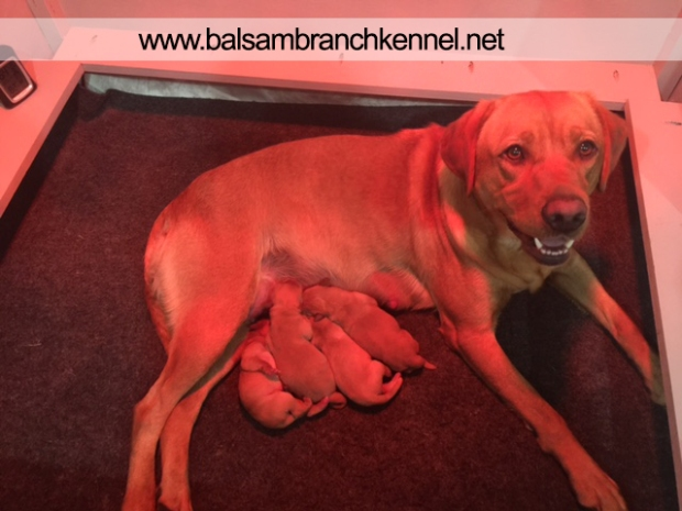 Fox Red Labrador Puppies Balsam Branch Kennel Roxy