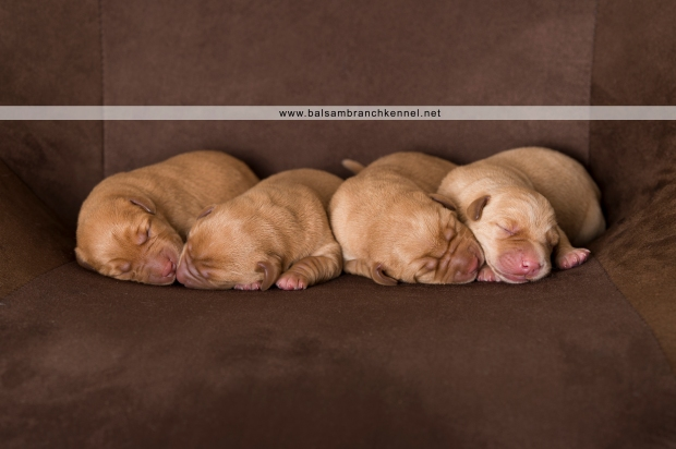 fox red labrador retrievers balsam branch kennel 3 days old rm