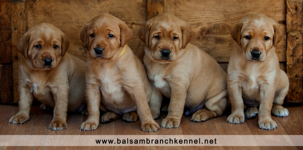 Fox Red Lab Balsam Branch Kennel 2016 RM 4 weeks
