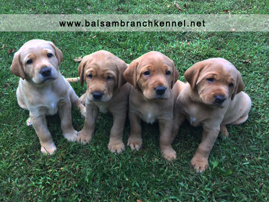 Fox Red Labrador Puppies for Sale 5 Weeks Balsam Branch Kennel RM