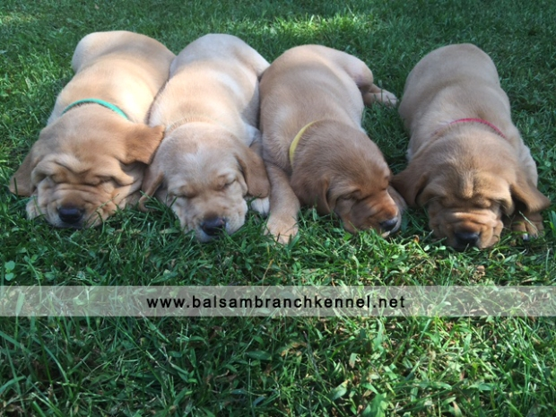 Fox Red Labrador Puppies for Sale 5 Weeks Balsam Branch Kennel RM2