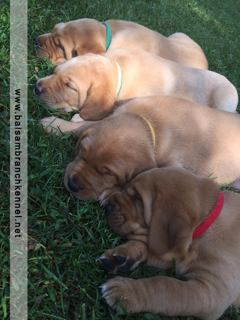 Fox Red Labrador Puppies for Sale 5 Weeks Balsam Branch Kennel RM3