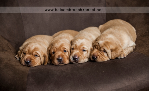 fox red labrador puppies for sale wi mn rm 2wk copy
