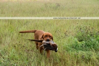 fox-red-lab-balsam-branch-kennel-wi03