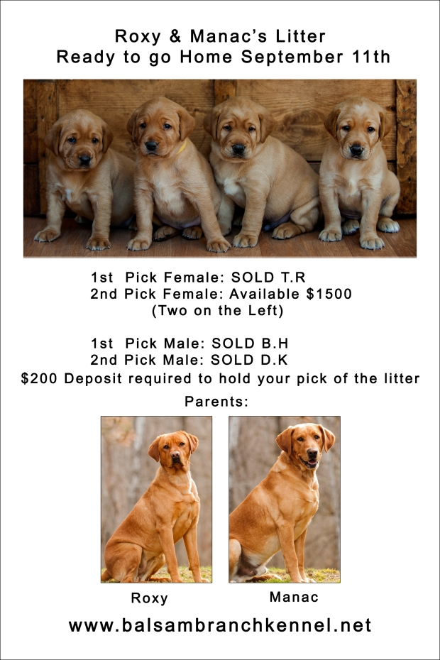 fox-red-lab-puppies-for-sale-wi-rm-4wks