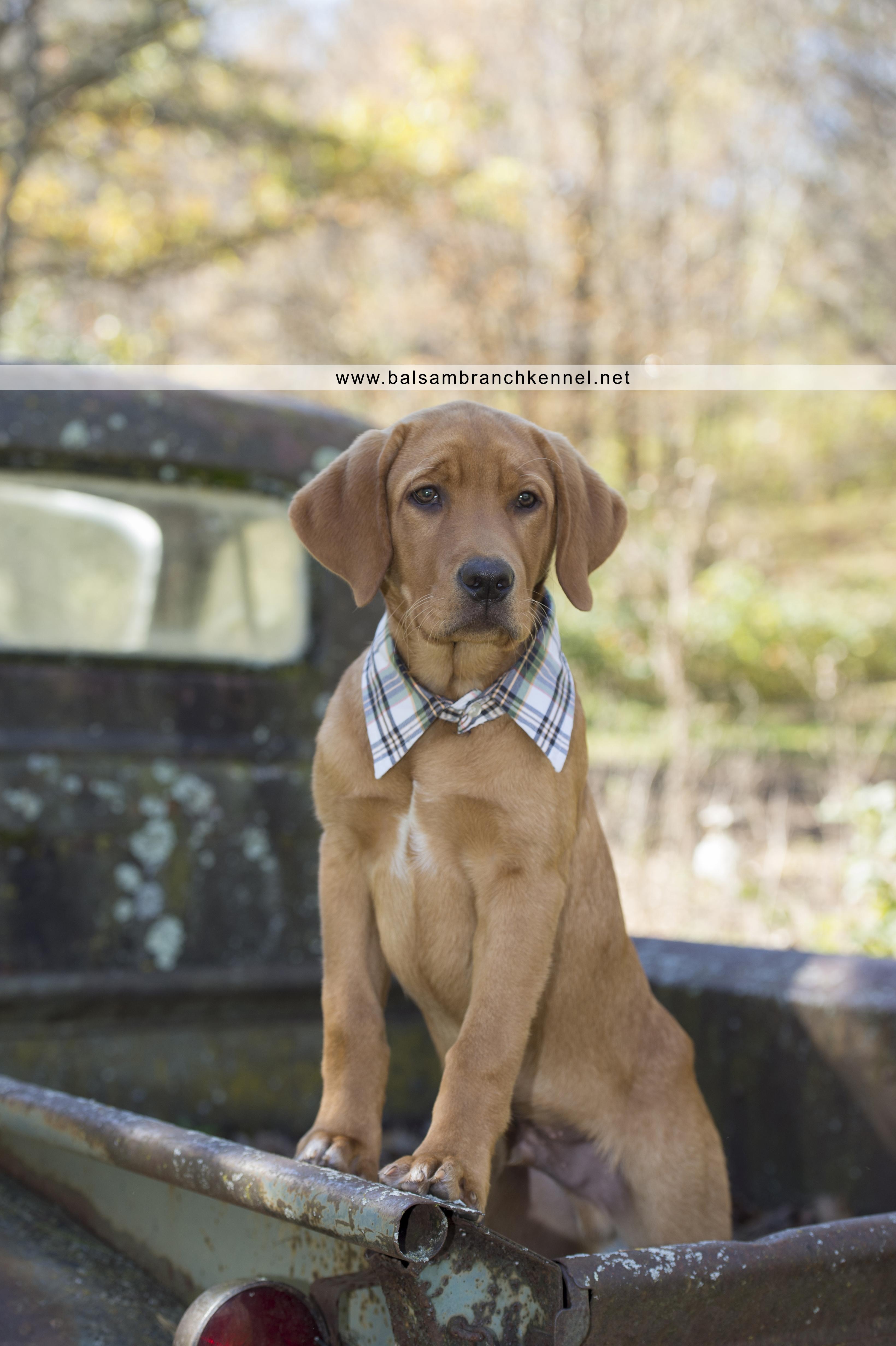 Teddy Fox Red Lab Puppy 4 Months Old Balsam Branch Kennel 3 Copy Balsam Branch Kennel
