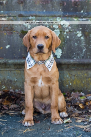 teddy-fox-red-lab-puppy-4-months-old-balsam-branch-kennel-4-copy