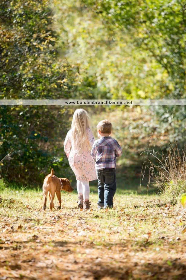 teddy-fox-red-lab-puppy-4-months-old-balsam-branch-kennel-5-copy