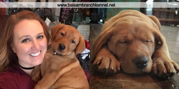 balsam-branch-kennel-fox-red-lab-kimber-shop