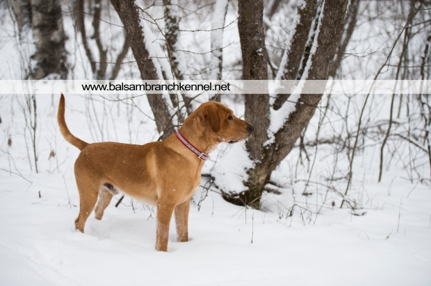 balsam-branch-kennel-fox-red-lab-manac-snow-day-1