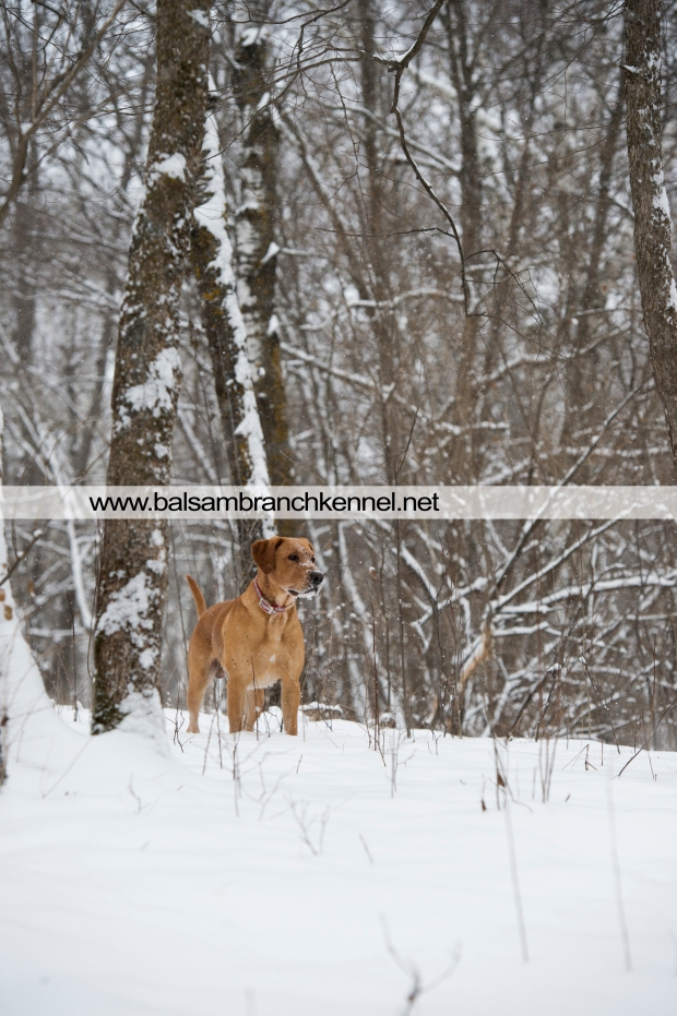 balsam-branch-kennel-fox-red-lab-manac-snow-day-2