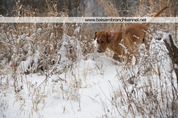 balsam-branch-kennel-fox-red-lab-manac-snow-day-3