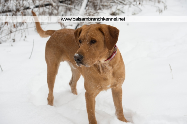 balsam-branch-kennel-fox-red-lab-manac-snow-day-4