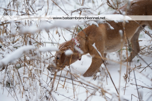 balsam-branch-kennel-fox-red-lab-manac-snow-day-5