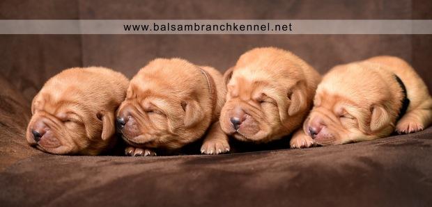 fox-red-lab-balsam-branch-kennel-tr-1-week-boys-copy