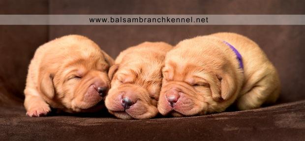 fox-red-lab-balsam-branch-kennel-tr-1-week-girls