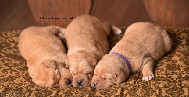 fox-red-lab-balsam-branch-kennel-tr-2-weeks-females