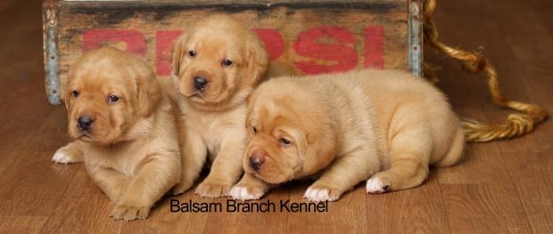 fox-red-lab-puppies-balsam-branch-kennel-trb-3wks-females-bbk