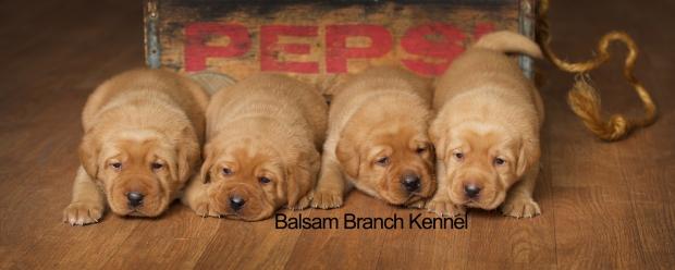 fox-red-lab-puppies-balsam-branch-kennel-trb-3wks-males-bbk