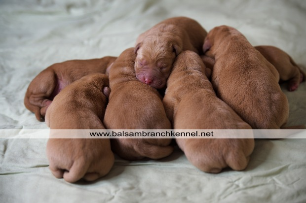 teaka-redbull-fox-red-lab-puppies-jan-2017-bbk