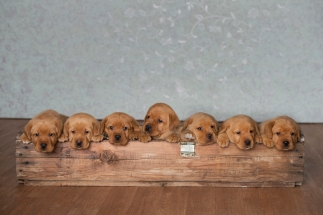 Balsam Branch Kennel – Fox Red Lab Puppies for Sale, Located in