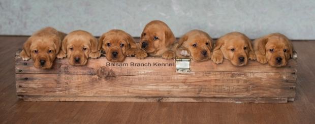 fox-red-lab-balsam-branch-kennel-tr-4-weeks-bbk