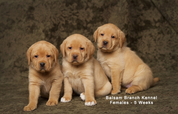 fox-red-lab-puppies-balsam-branch-kennel-trb-5wks-females