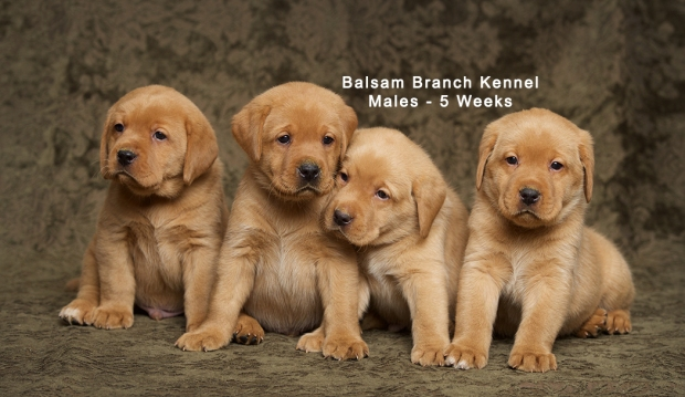 fox-red-lab-puppies-balsam-branch-kennel-trb-5wks-males