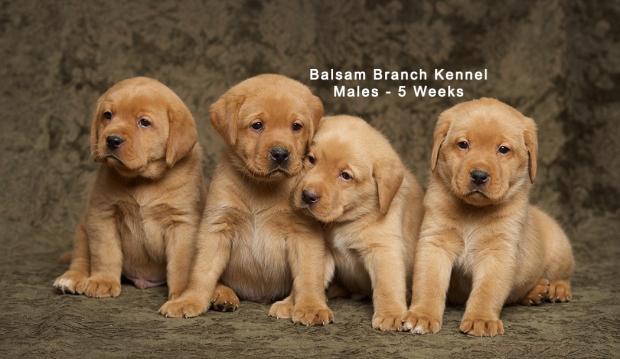 fox-red-lab-puppies-balsam-branch-kennel-trb-5wks-males