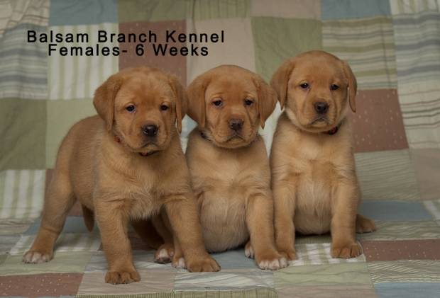 fox-red-lab-puppies-balsam-branch-kennel-trb-6wks-females-bbk