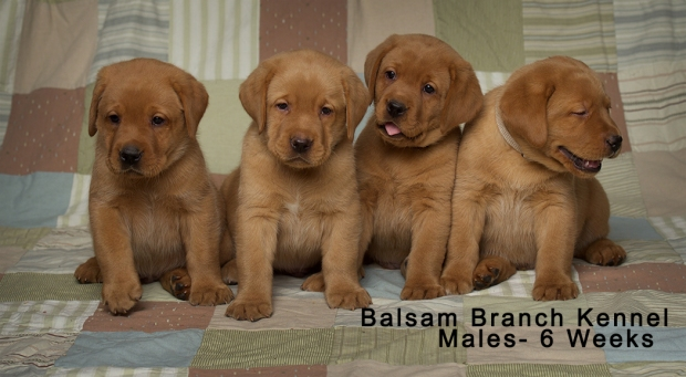fox-red-lab-puppies-balsam-branch-kennel-trb-6wks-males-bbk