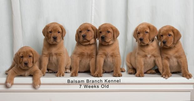 fox-red-lab-puppies-balsam-branch-kennel-trb-7wks-copy
