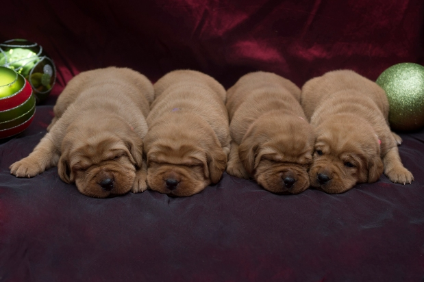 BBK Fox Red Lab Puppies For Sale TO 2w FM