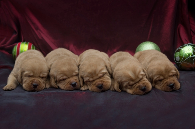 BBK Fox Red Lab Puppies For Sale TO 2w M