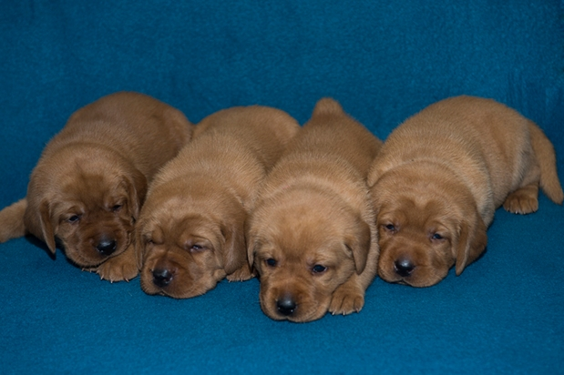 BBK Fox Red Lab Puppies For Sale TO 3W FM