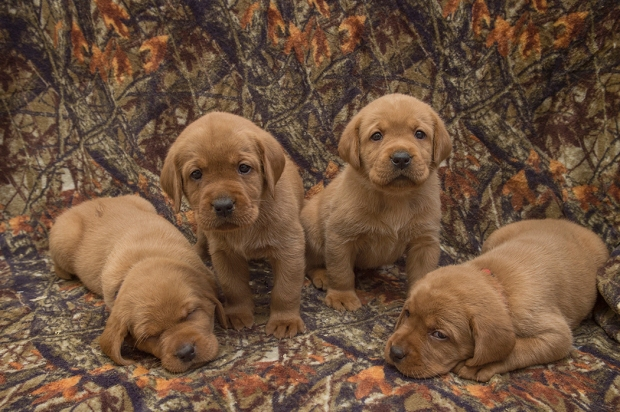 1BBK Fox Red Lab Puppies For Sale TO 4W FM