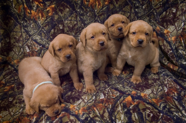 1BBK Fox Red Lab Puppies For Sale TO 4W M