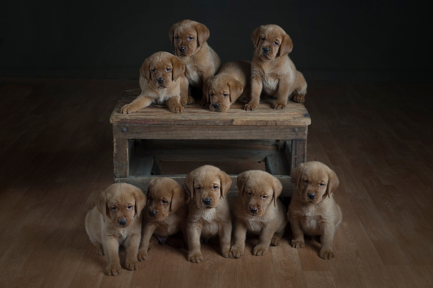 fox red lab puppies for sale wi to 2017-5wk